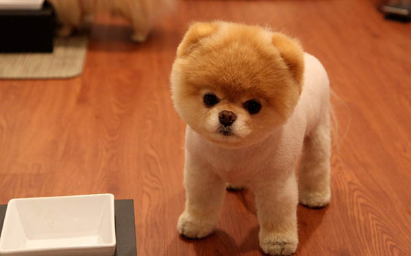 a99085_animals_dogs_pets_pomeranian_boo_1280x800_71948