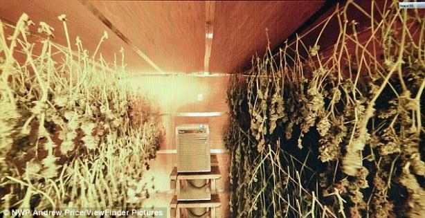 cannabiss-9