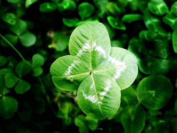 4 leaf clover kaaz.eu