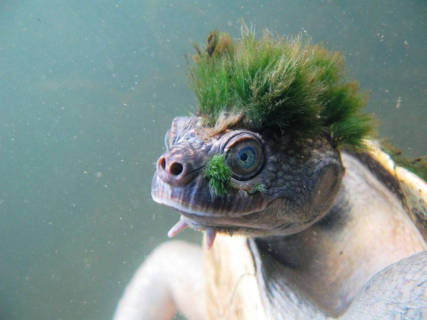 Mary river turtle algae - photo#3